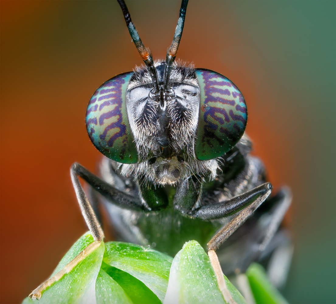 Portrait of the Black Solder Fly (close-up) by Liza Rock