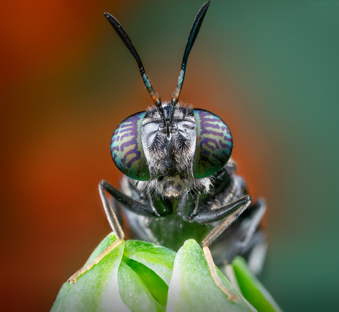 Portrait of the Black Soldier Fly by Liza Rock