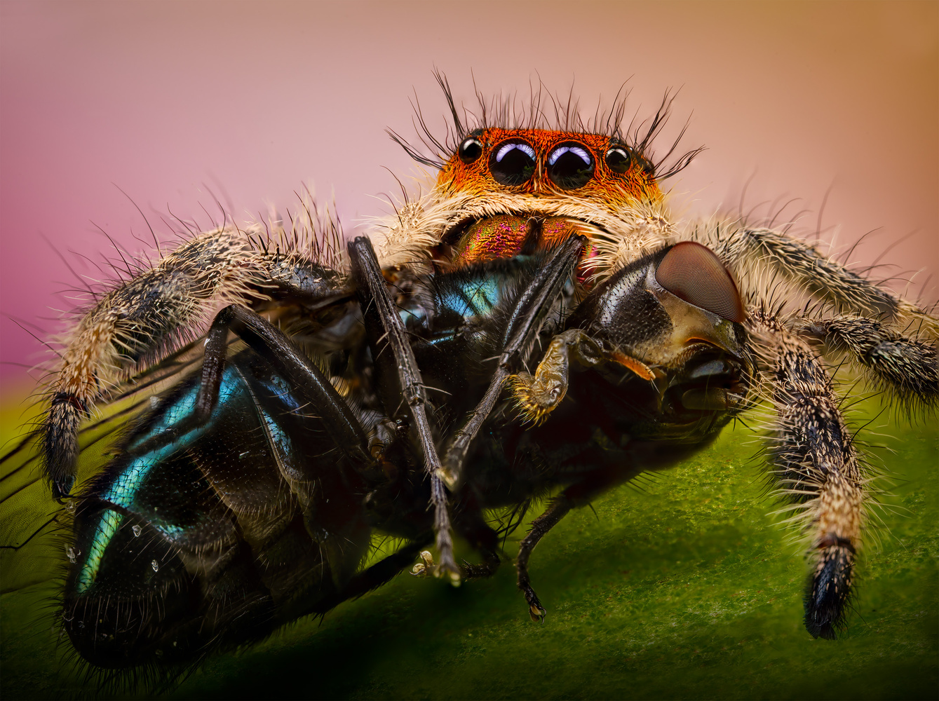 The Fiery Regal Jumping Spider by Liza Rock