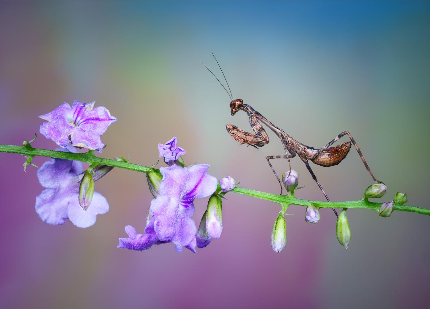 Lilac Mantis Dream by Liza Rock