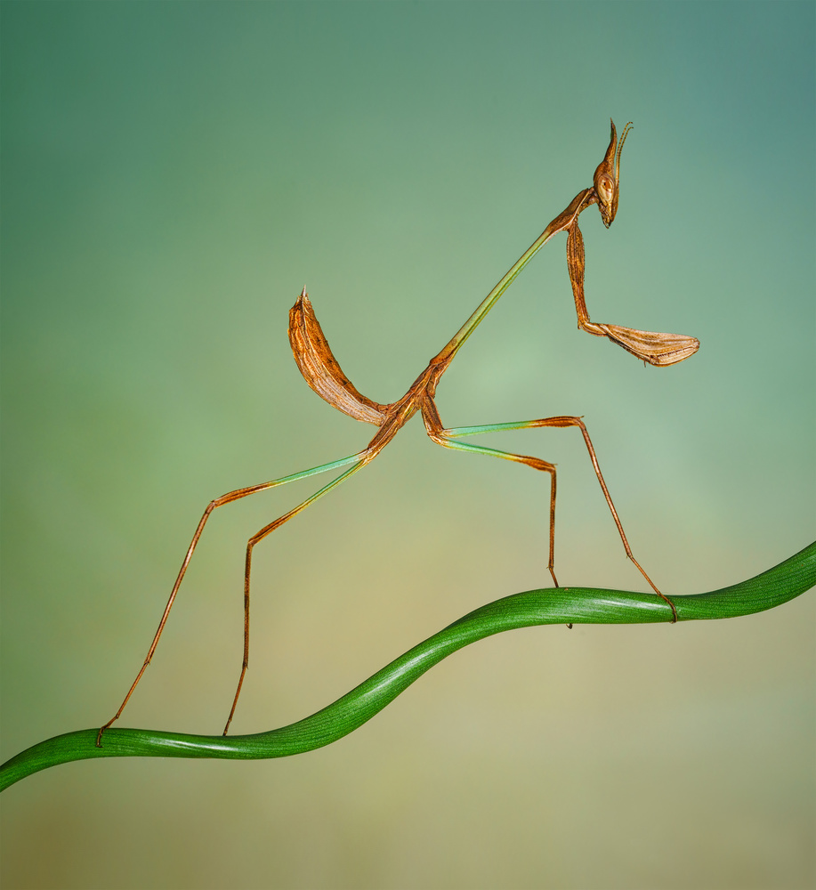 The Alien Head Mantis by Liza Rock