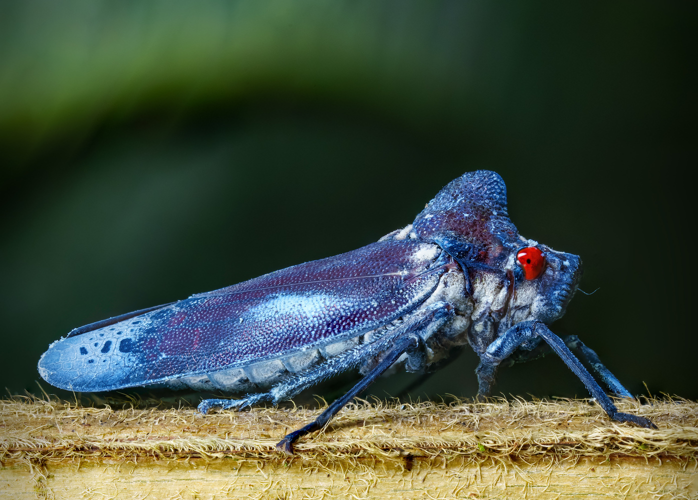 The Patriotic Leafhopper by Liza Rock