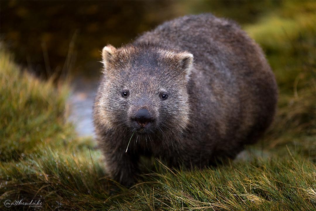 Wombat Portrait by Matt Duke