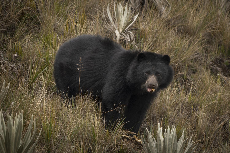 Andean Bear by Sebastian Di Domenico