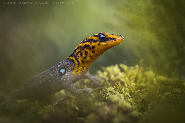 The Sun Gecko  by Sebastian Di Domenico