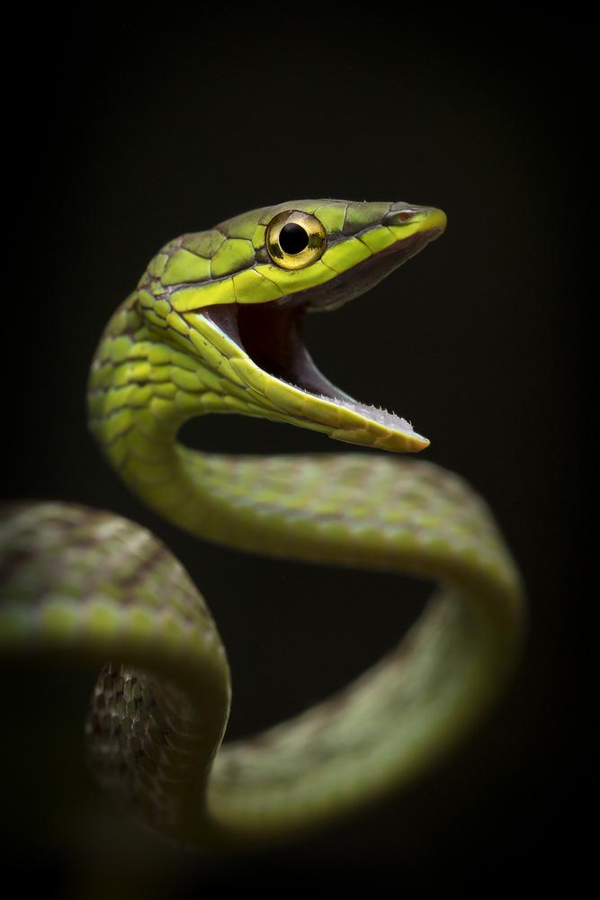 Vine Snake by Sebastian Di Domenico