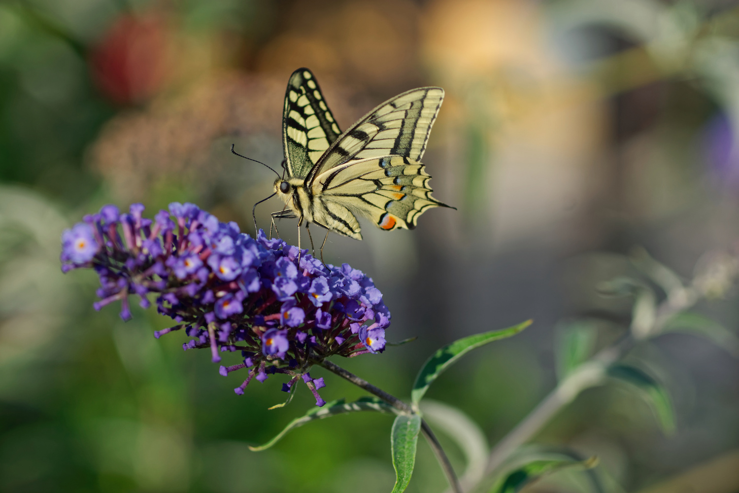 Swallowtail by Jan Grau