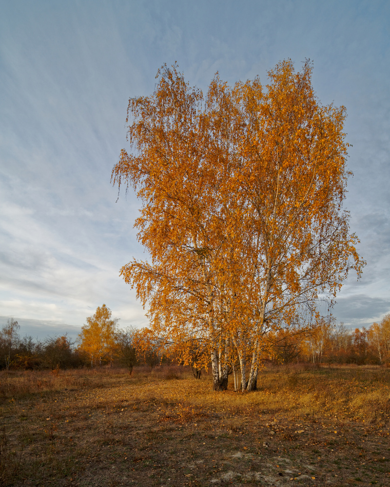 Birch tree by Jan Grau