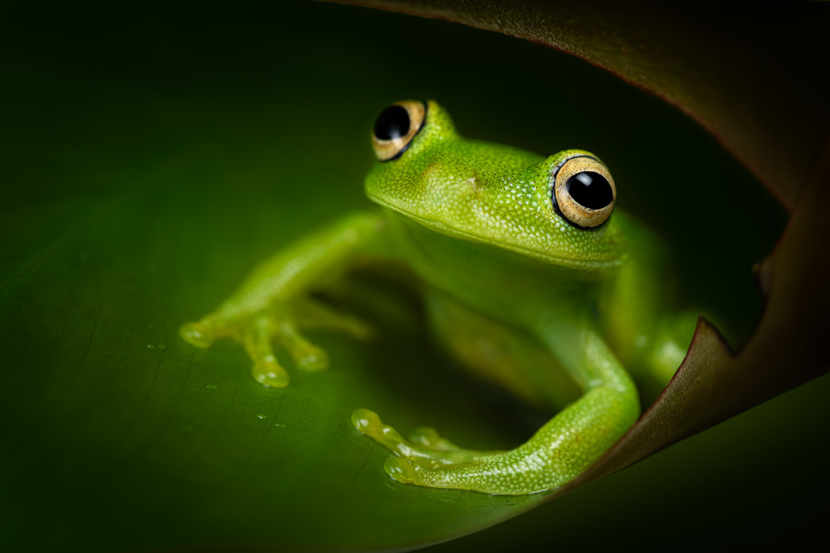 Kermit the frog | Amazon rainforest, Ecuador by Thomas Andlauer