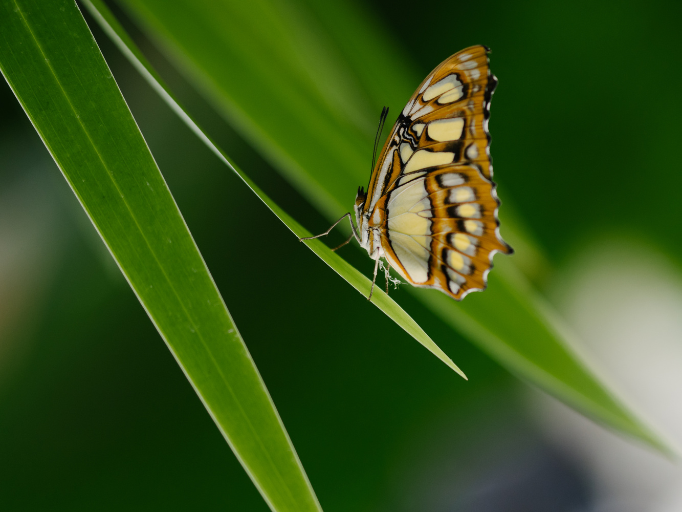 Butterfly by Sam Green