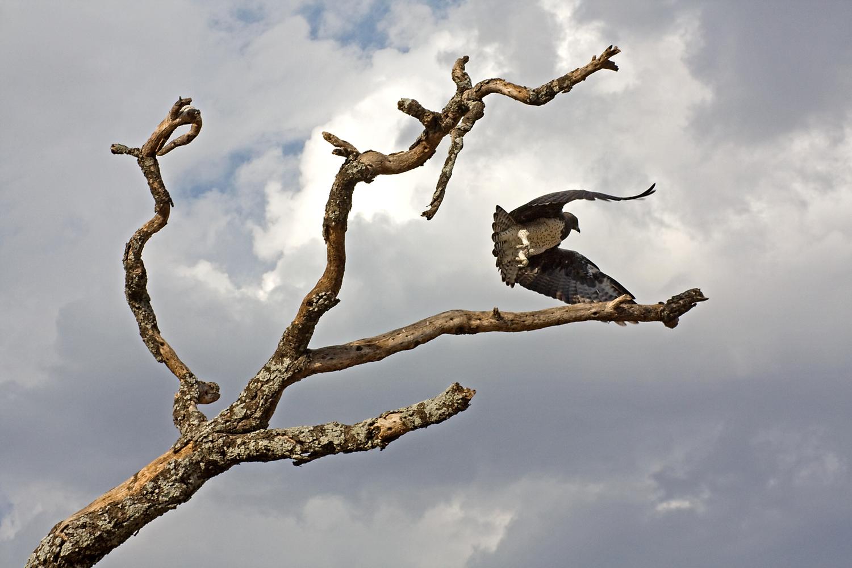 Martial Eagle by Victor Manuel Diaz Leites