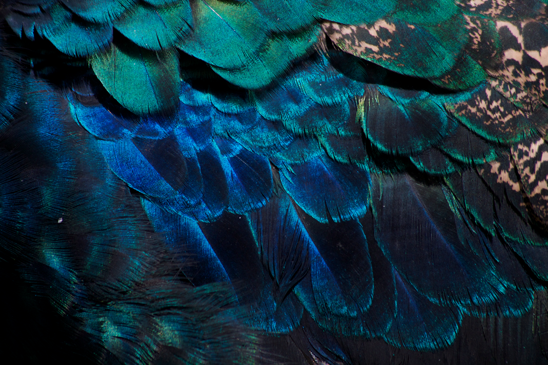 Peacock feathers by Victor Manuel Diaz Leites