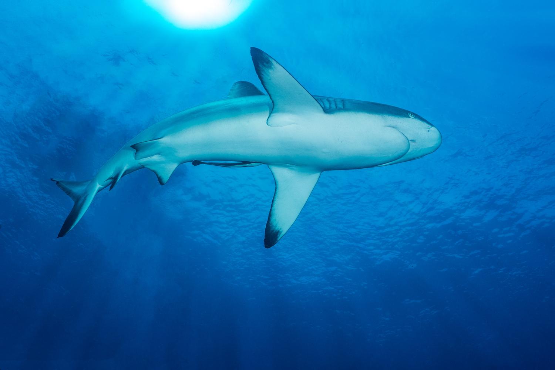 Shark Overhead by Francesca Trotman