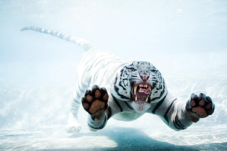 White Tiger by Sergey Bidun