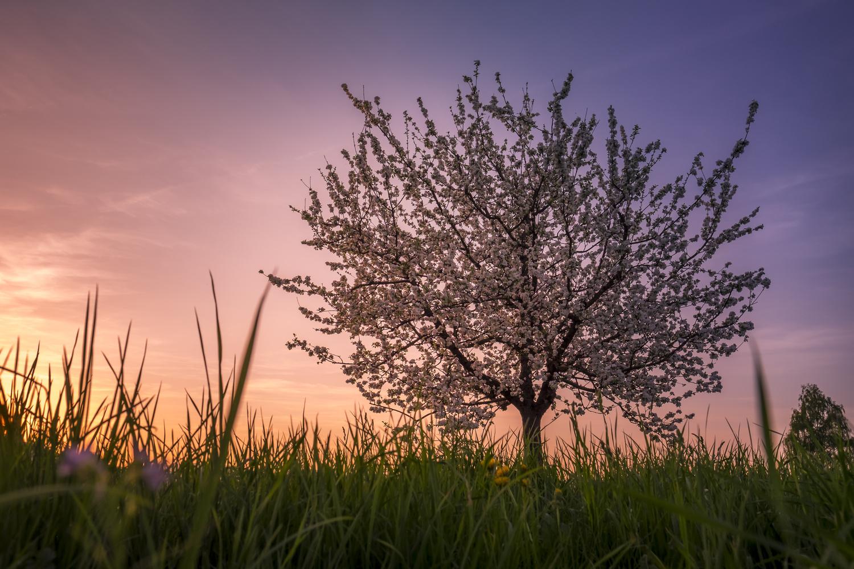 Apple Tree Blue Hour by Philipp Morscher