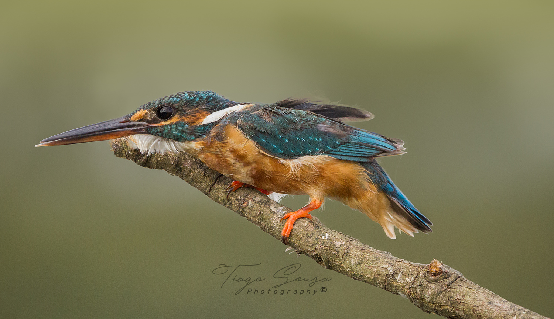 Kingfisher by Tiago Sousa