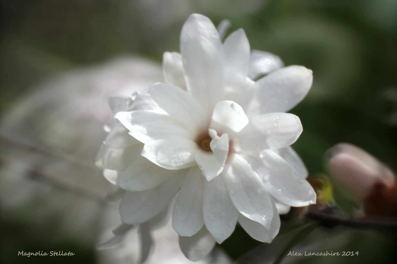 Magnolia Stellata by Alex Lancashire