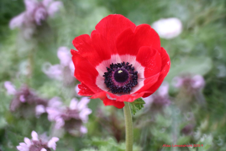 Anemone Flower by Alex Lancashire