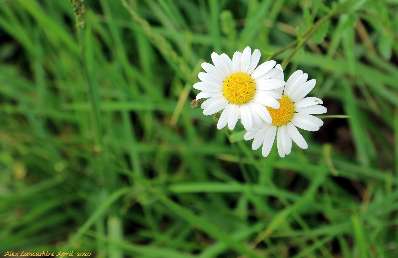 Roadside Wild Daisy Flower by Alex Lancashire