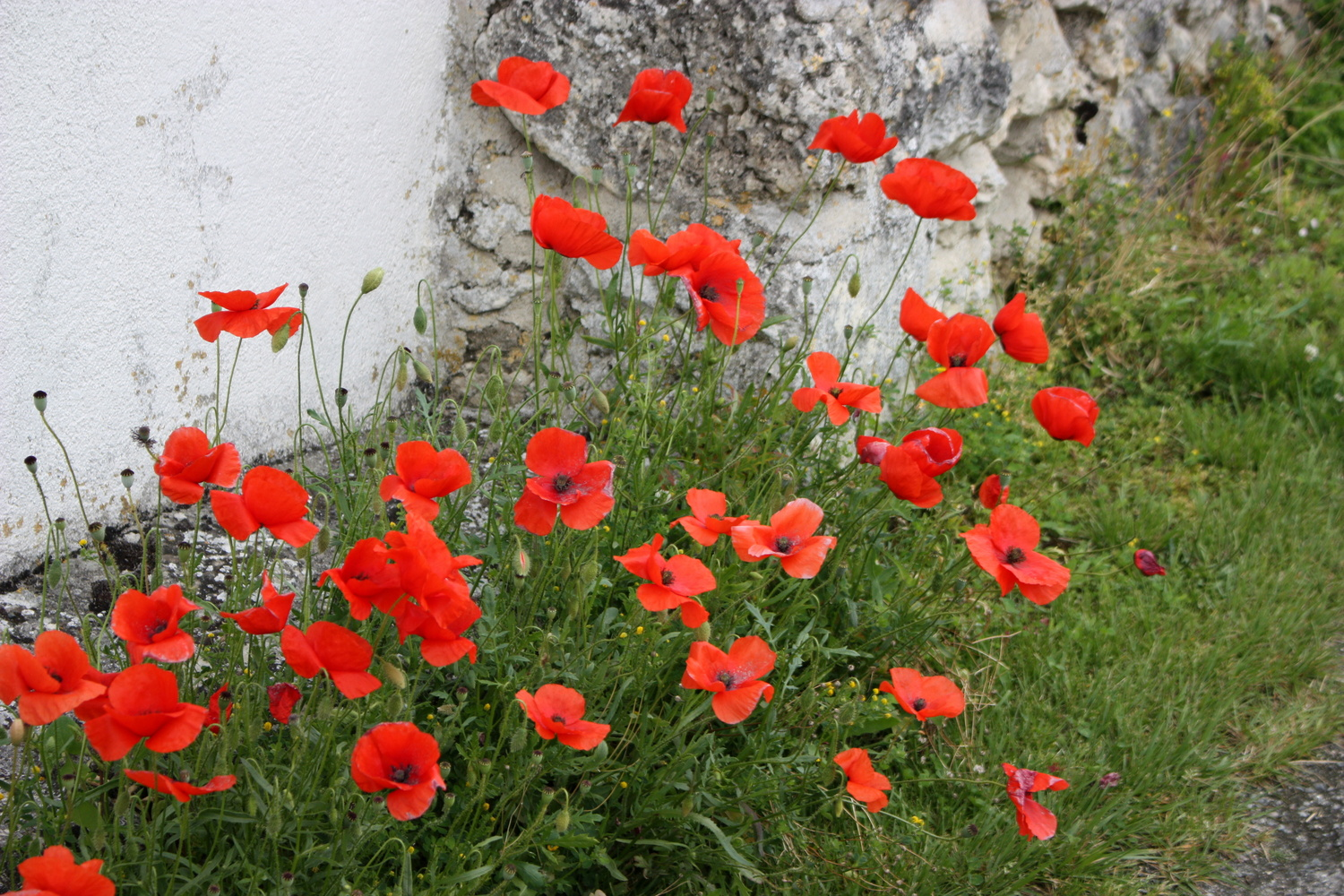 Coquilicot, French wild Poppys. by Alex Lancashire