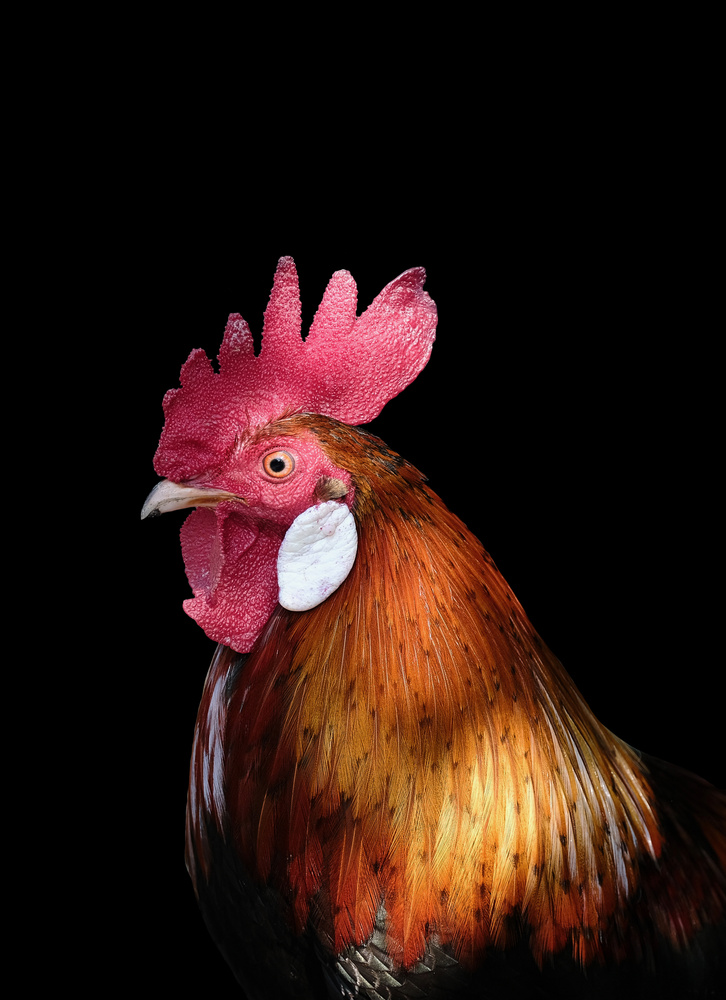 Please to meet you Mr Rooster. by ivan joshua loh