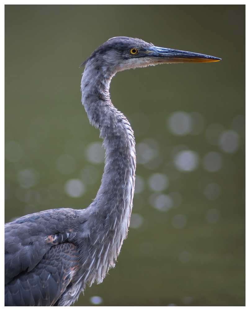 Portrait of a Great Blue Heron by Danial McCoy