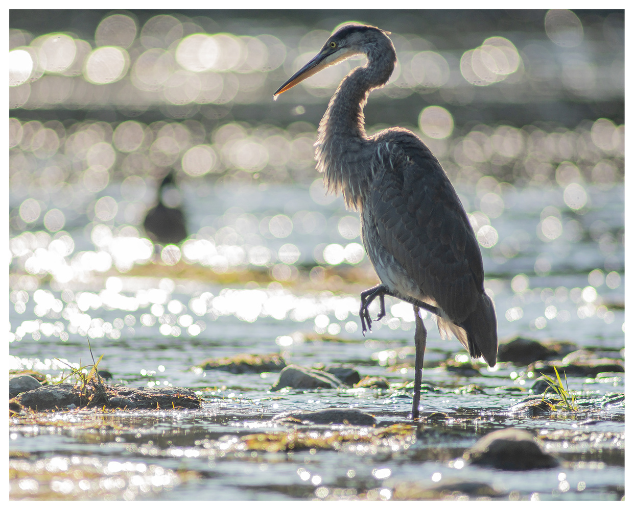 A Statuesque Heron by Danial McCoy
