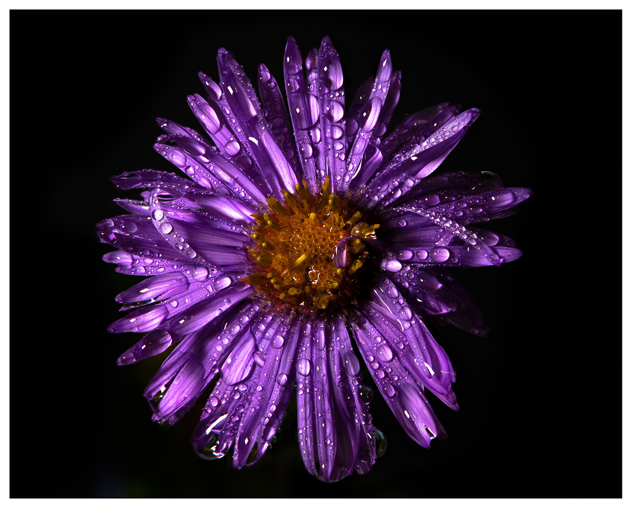 New England Aster 2 by Danial McCoy