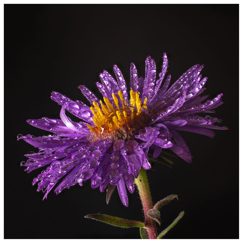 New England Aster by Danial McCoy
