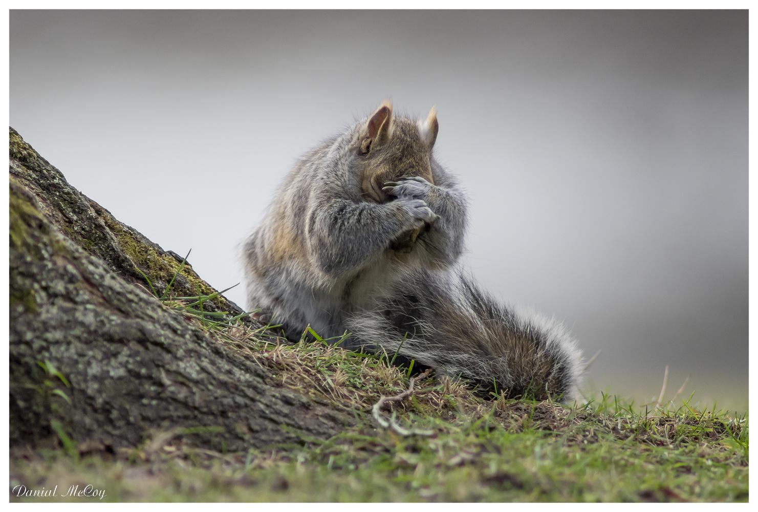 A Grey Squirrel's Head Hug by Danial McCoy