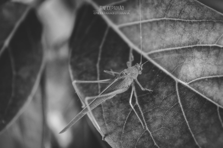 Grey grasshopper by Neide Paixão