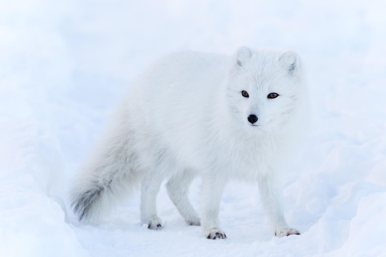 Arctic Fox by Jeroen Van Nieuwenhove