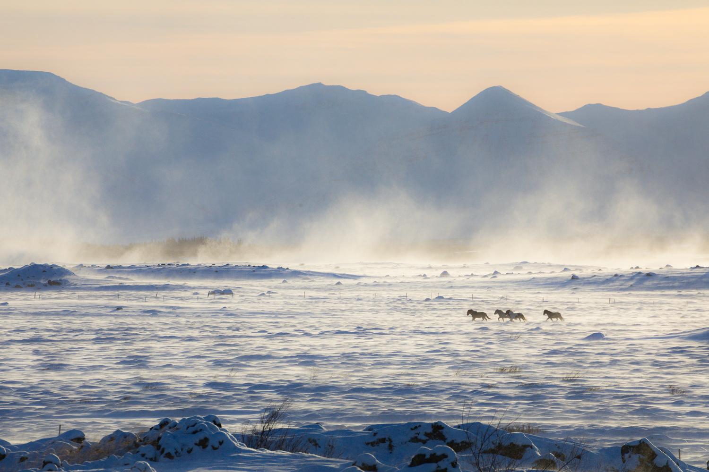 Horses In The Storm by Jeroen Van Nieuwenhove