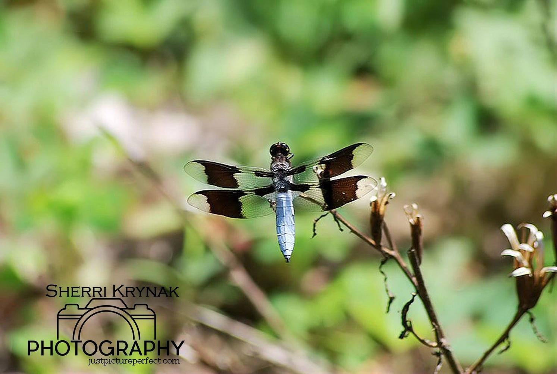 Dragonfly by Sherri Krynak