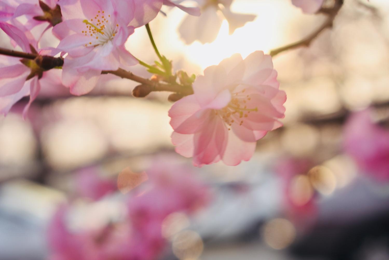Spring Blossom by Bhargav Kesavan