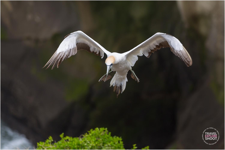 Wild gannets in New Zealand... by Kirk Vogel
