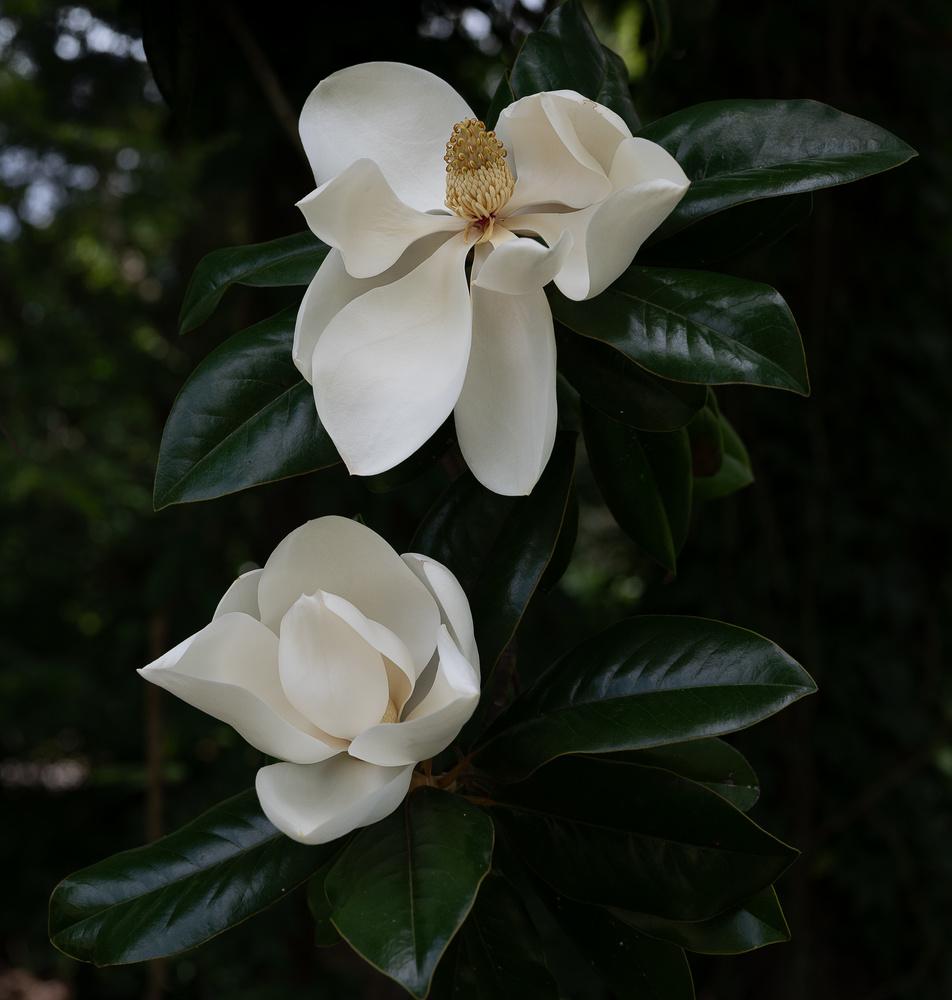 Magnolias by Belton Zeigler