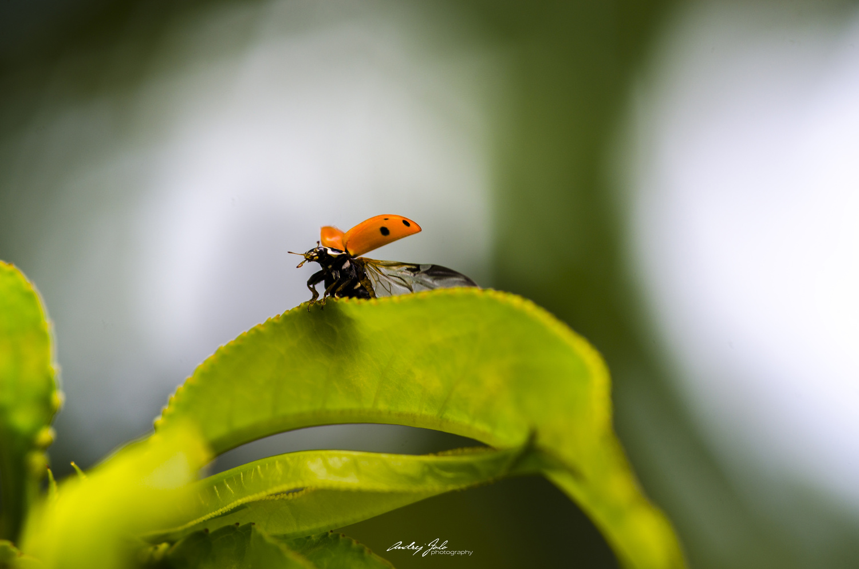 Ladybug on leaf by Andrej Folo