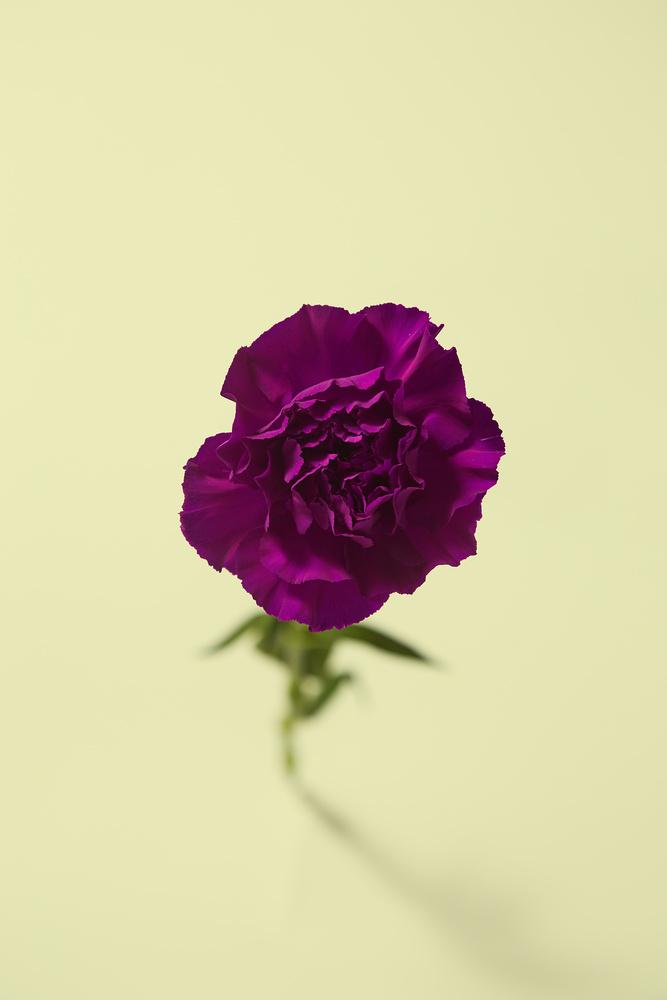 Carnation by Loreana Rojas