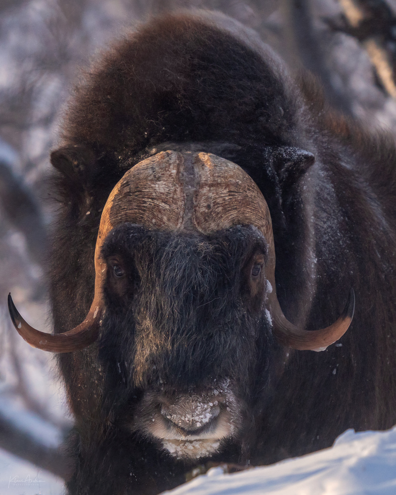 """A portrait of a musk ox"" by Klaus Axelsen"