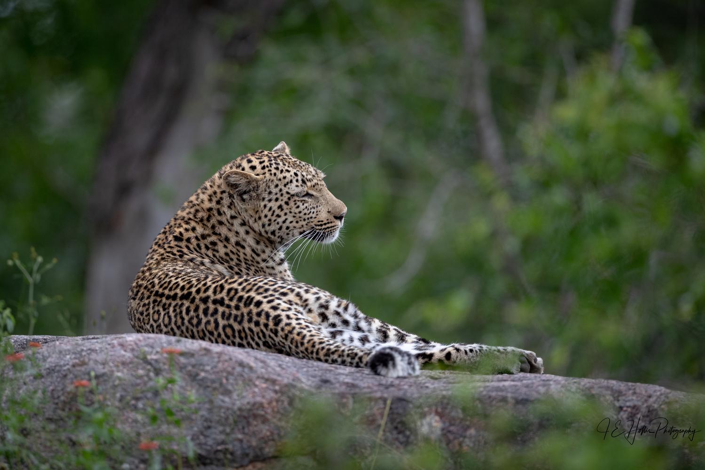 Lounging Makosava Female at Londolozi by J Hollis