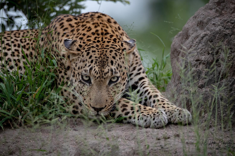 Senegal Bush Male Stare Down by J Hollis