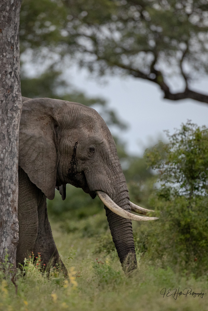 Young Bull in Musth by J Hollis