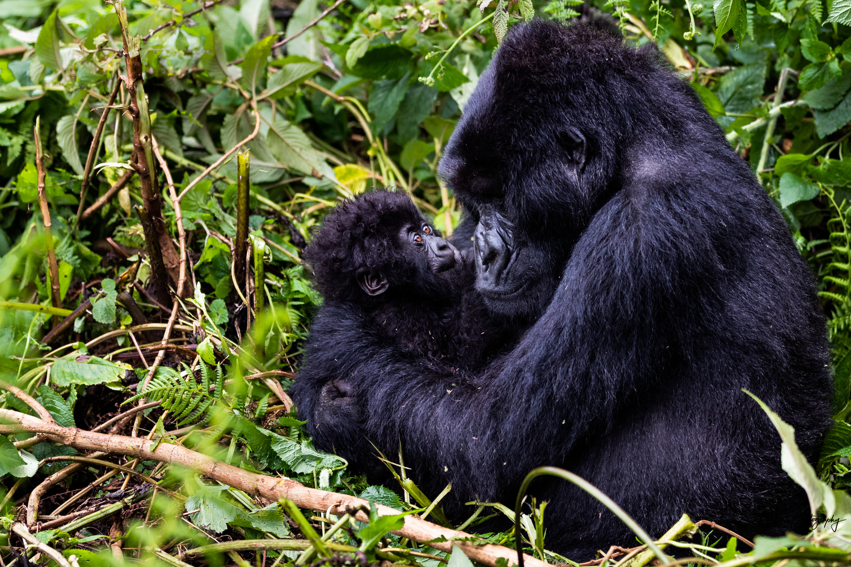 Gorilla Mother & Child by J Hollis