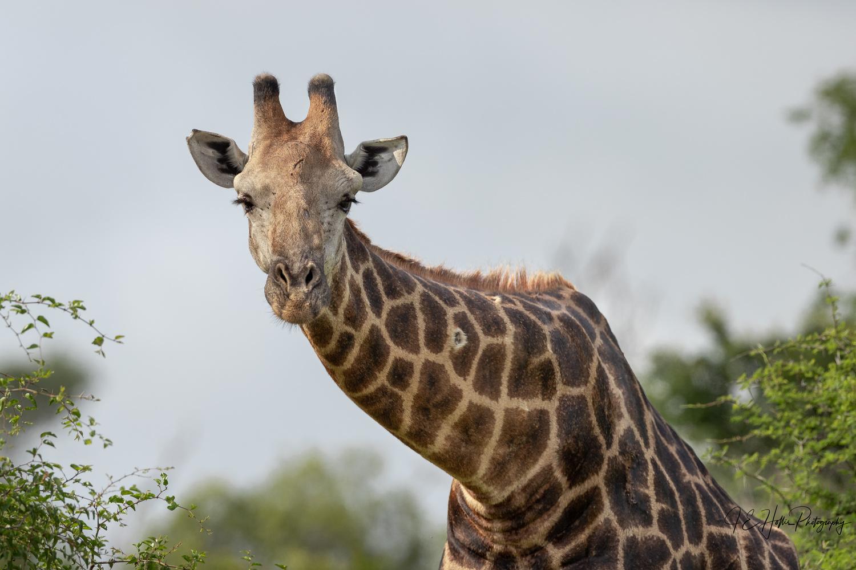 Giraffe Stare Down by J Hollis