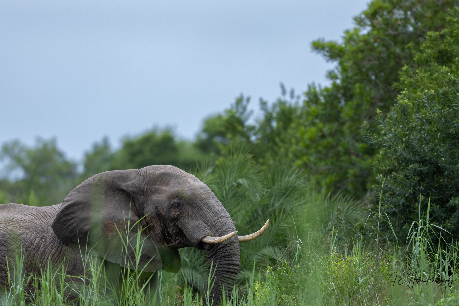 Elephant Bull in Musth in the Woods by J Hollis