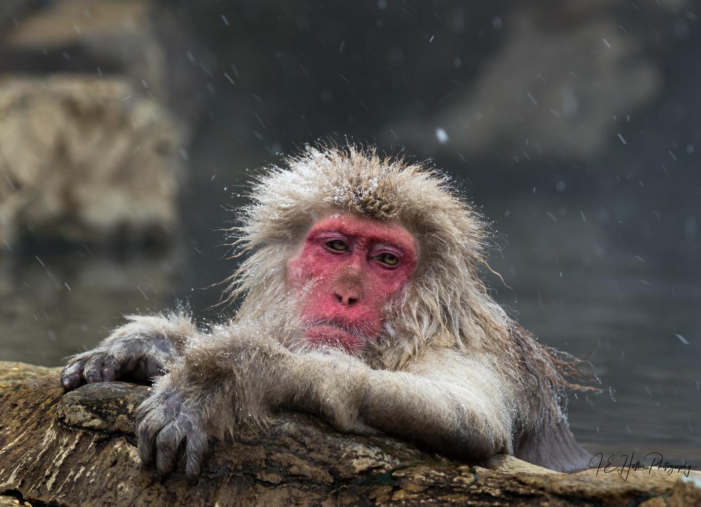 Snow Monkey Blues by J Hollis