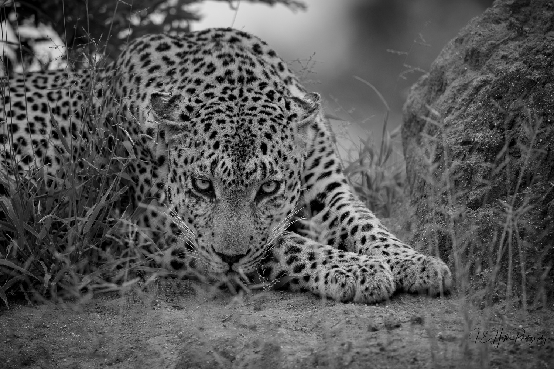Senegal Bush Male Stare Down in B&W by J Hollis