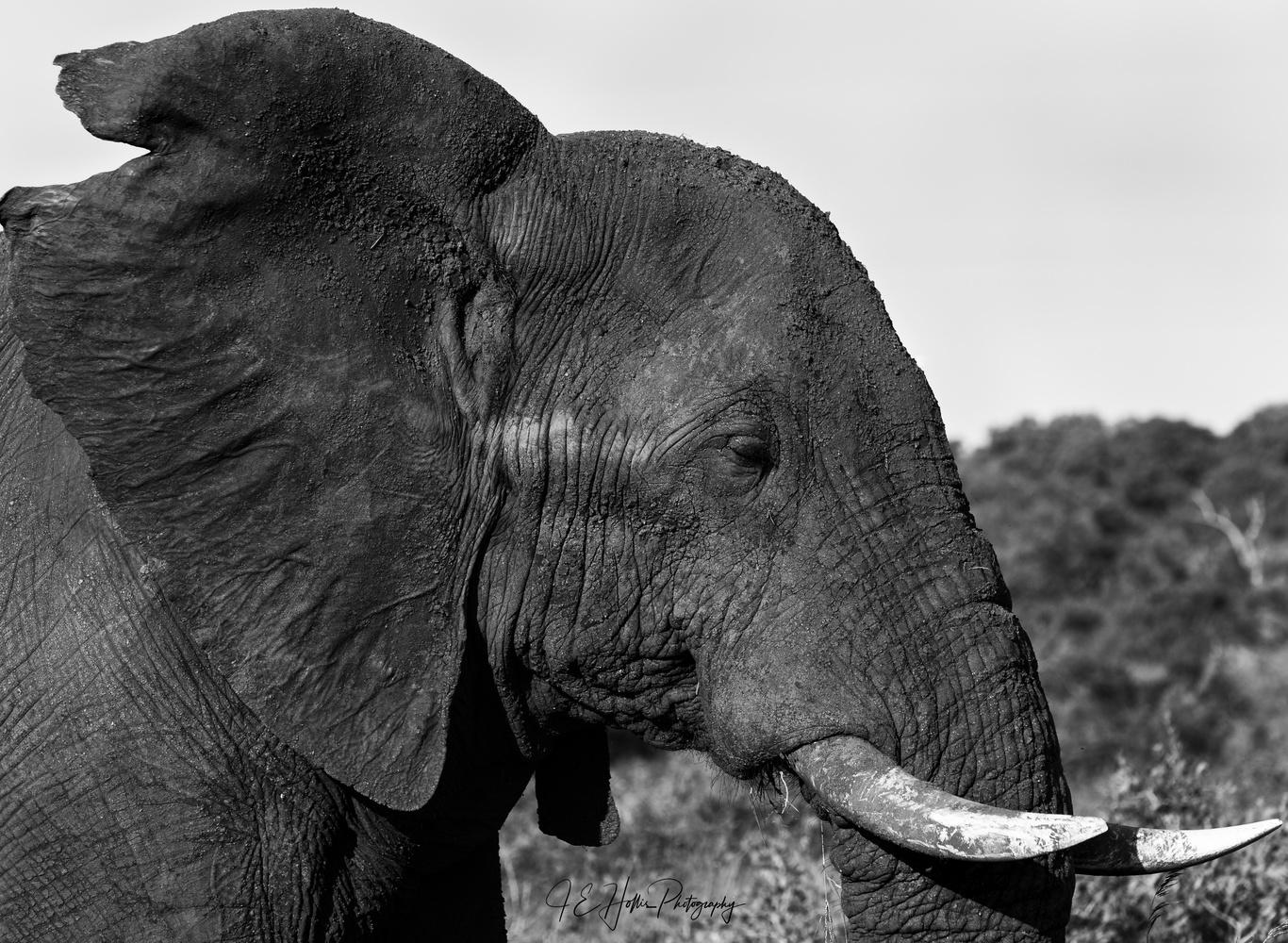 Elephant Profile in B&W by J Hollis