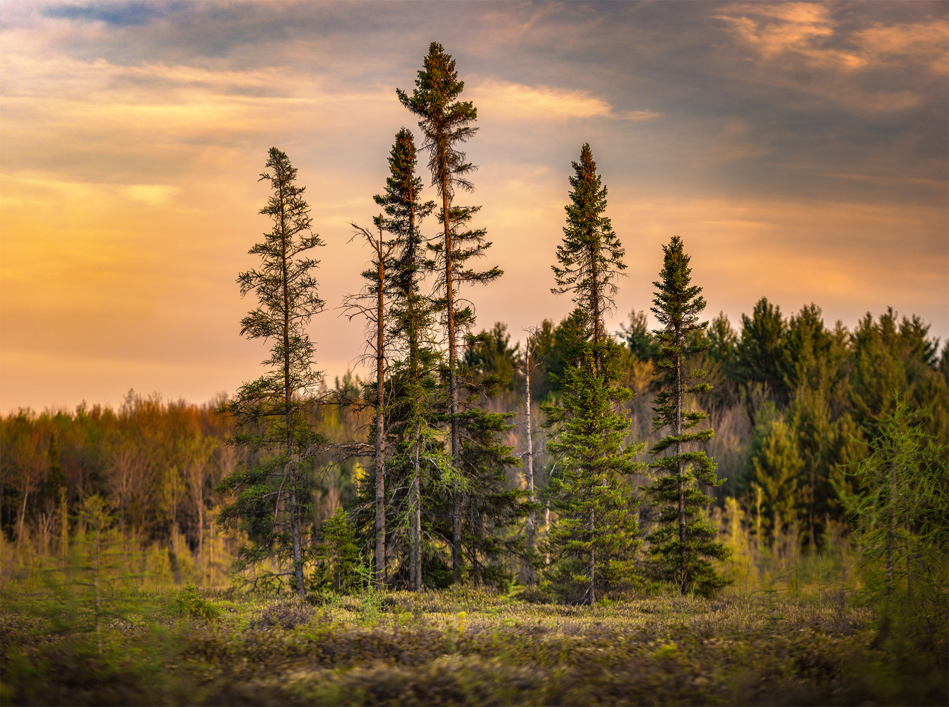 Black Spruce by Michael Higgins